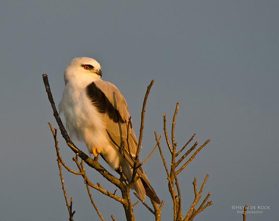 Black-shouldered Kite, Lake Illawarra, NSW, Aus, Feb 2012