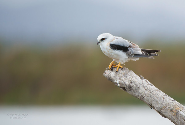 Black-shouldered Kite, Western Treatment Plant, VIC, Apr 2014