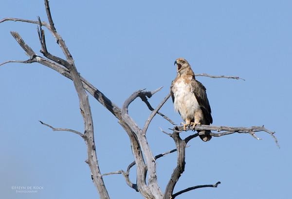 Booted Eagle, Double-banded Sandgrouse, Etosha, Namibia, Jul 2011-1