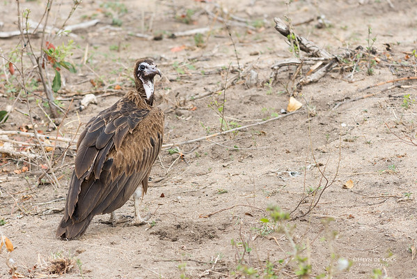 Hooded Vulture, Sabi Sands (EP), SA, Oct 2016-2
