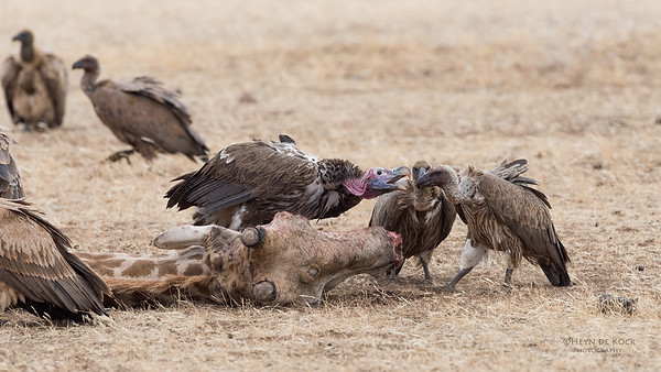 Lappet-faced & White-backed Vultures, Mashatu GR, Botswana, May 2017-3