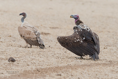 Lappet-faced & White-backed Vultures, Mashatu GR, Botswana, May 2017-5