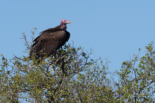 Lappet-faced Vulture, Hluhluwe-Imfolozi NP, KZN, South Africa, May 2017-2