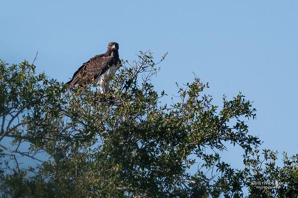 Martial Eagle, Hluhluwe-Imfolozi NP, KZN, South Africa, May 2017-1