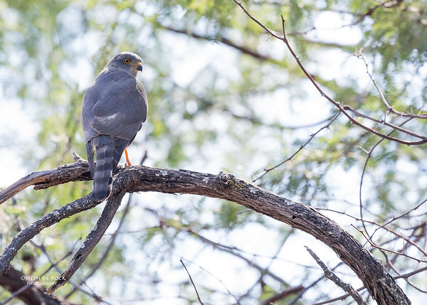 Shikra, Savuti, Chobe NP, Botswana, May 2017-1