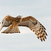 Square-tailed Kite, West Nowra, NSW, Jul 2014-1