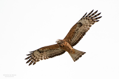 Square-tailed Kite, West Nowra, NSW, Jul 2014 copy