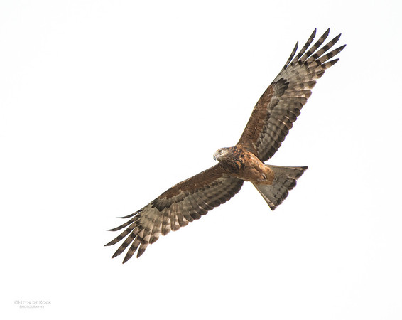 Square-tailed Kite, West Nowra, NSW, Jul 2014-2