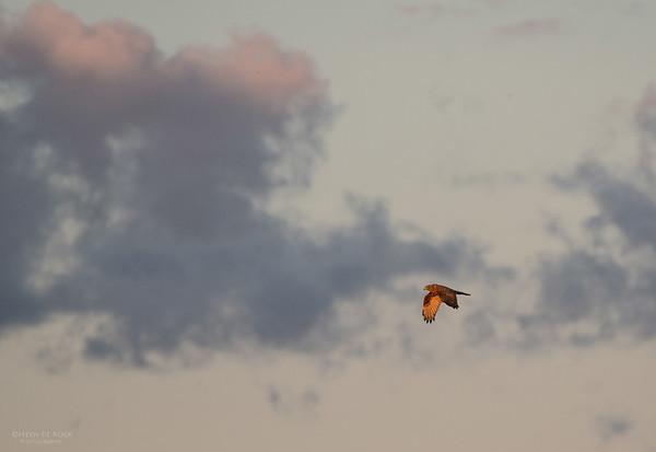 Swamp Harrier, Fivebough Swamp, NSW, Aus, Aug 2012