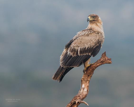Tawny Eagle, Zimanga, South Africa, May 2017-3