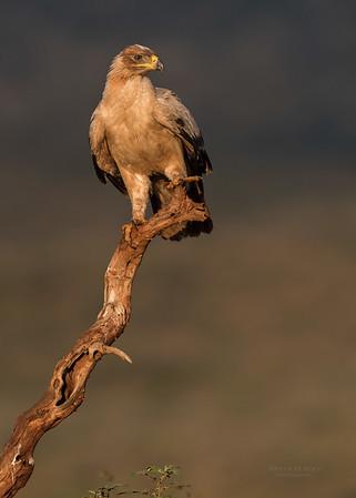 Tawny Eagle, Zimanga, South Africa, May 2017-5