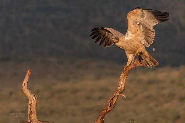 Tawny Eagle, Zimanga, South Africa, May 2017-4