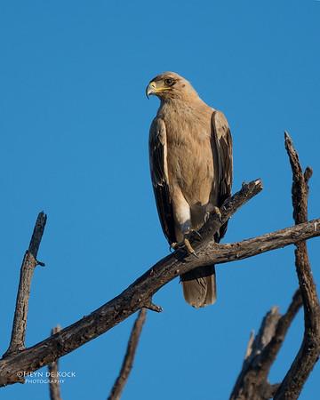 Tawny Eagle, Savuti, Chobe NP, Botswana, May 2017-1