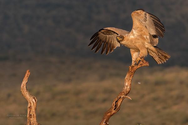 Tawny Eagle, Zimanga, South Africa, May 2017-1