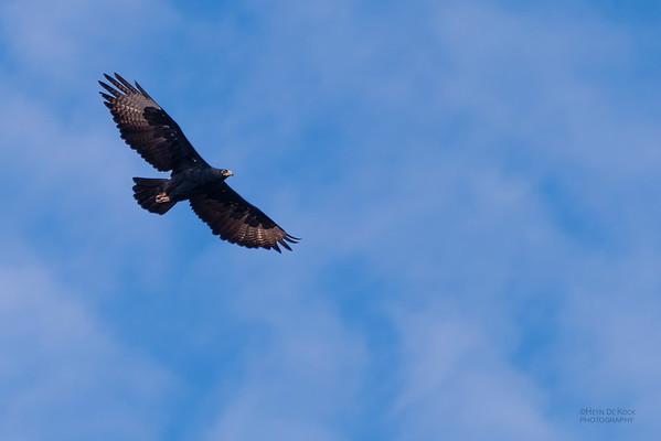 Verreauxs' Eagle, Karoo NP, SA, Dec 2008