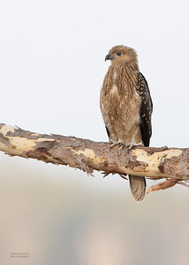 Whistling Kite, Lake Atkinson, QLD, Nov 2019-2