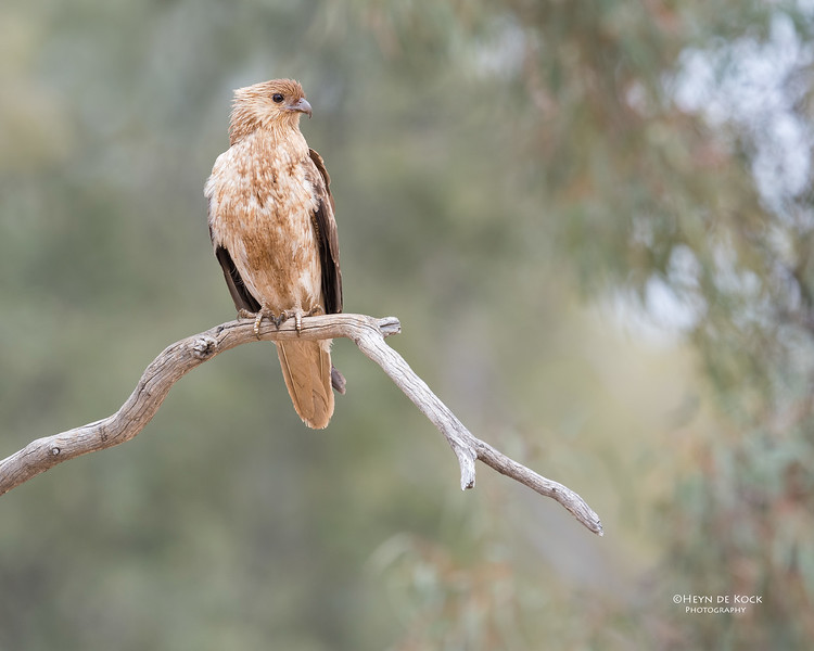 Whistling Kite, Bowra, Cunnamulla, QLD, Aus, Sept 2017-1