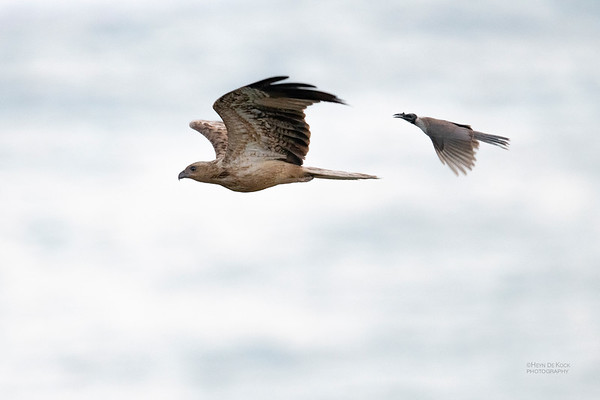 Whistling Kite & Noisy Friarbird, North Stradbroke Island, QLD, Oct 2020-1