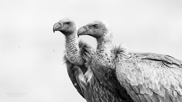 White-backed Vulture, b&w, Zimanga, South Africa, May 2017-6