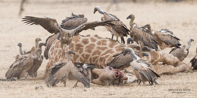 White-backed Vulture, Mashatu GR, Botswana, May 2017-8