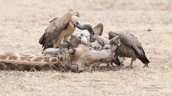 White-backed Vulture, Mashatu GR, Botswana, May 2017-5