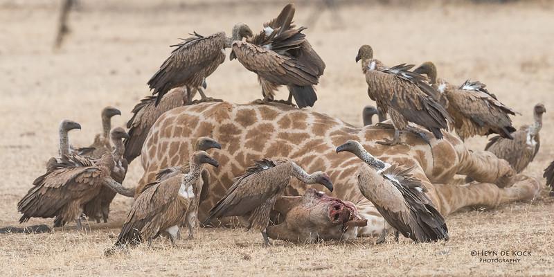 White-backed Vulture, Mashatu GR, Botswana, May 2017-9