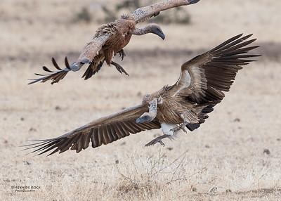White-backed Vulture, Mashatu GR, Botswana, May 2017-4