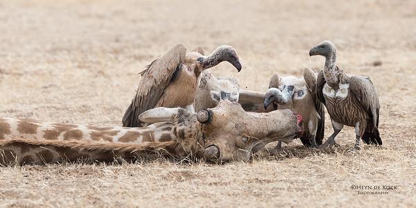 White-backed Vulture, Mashatu GR, Botswana, May 2017-1