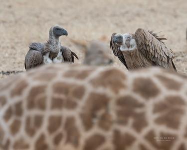 White-backed Vulture, Mashatu GR, Botswana, May 2017-2