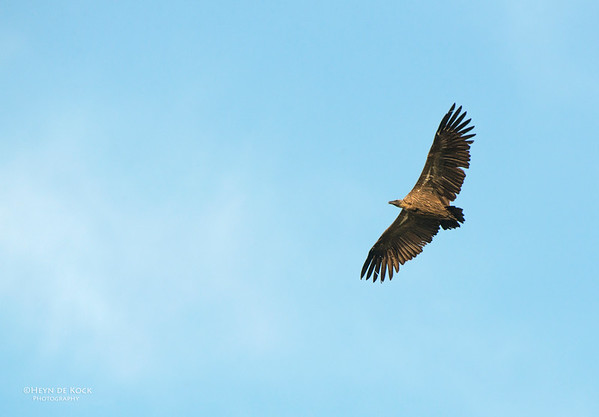 White-backed Vulture, Hluhluwe-Imfolozi NP, KZN, SA, Jan 2014