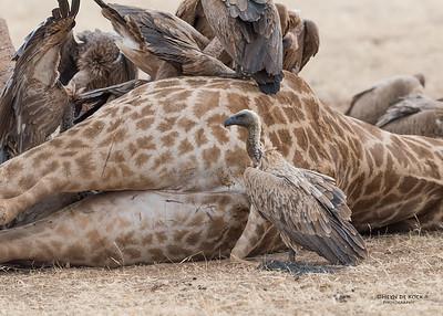 White-backed Vulture, Mashatu GR, Botswana, May 2017-11