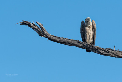 White-backed Vulture, Savuti, Chobe NP, Botswana, May 2017-1