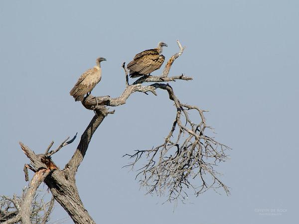 White-backed Vulture, Etosha NP, Namibia, July 2011