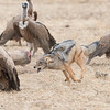 Black-backed Jackal & White-backed Vulture, Mashatu GR, Botswana, May 2017-3