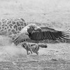 Black-backed Jackal & White-backed Vulture, b&w, Mashatu GR, Botwana, May 2017-1