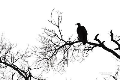 White-backed Vulture, Sabi Sands (EP), SA, Oct 2016-3