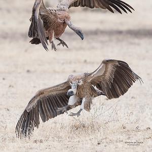 White-backed Vulture, Mashatu GR, Botswana, May 2017-3