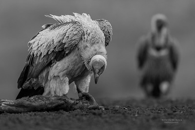 White-backed Vulture, b&w, Zimanga, South Africa, May 2017-1