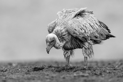 White-backed Vulture, b&w, Zimanga, South Africa, May 2017-3