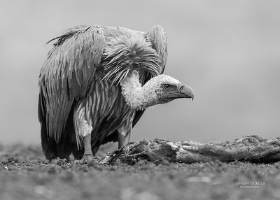 White-backed Vulture, b&w, Zimanga, South Africa, May 2017-2
