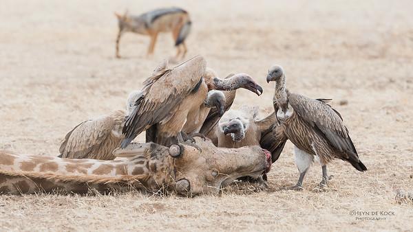 White-backed Vulture, Mashatu GR, Botswana, May 2017-10