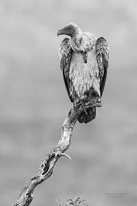 White-backed Vulture, b&w, Zimanga, South Africa, May 2017-4
