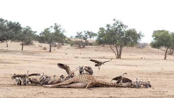 White-backed Vulture, Mashatu GR, Botswana, May 2017-6