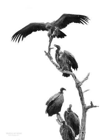 White-backed Vulture, Chobe NP, Botswana, July 2011
