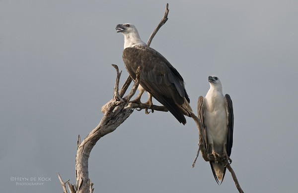 White-bellied Sea-eagles, Yellow Waters, Kakadu NP, NT, Aus, Oct 2010 (1)