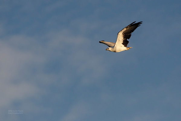 White-bellied Sea Eagle, Shoalhaven Heads, NSW, Mar 2012