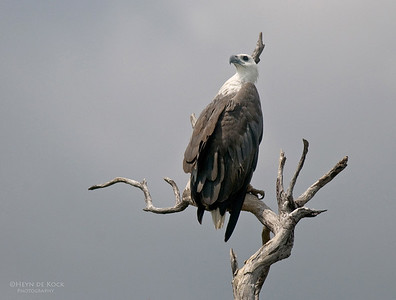 White-bellied Sea-eagle, Yellow Waters, Kakadu NP, NT, Aus, Oct 2010