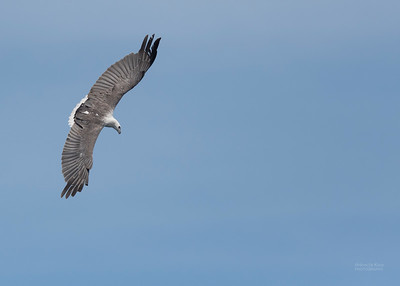 White-bellied Sea-eagle, Eaglehawk Neck Pelagic, TAS, Dec 2019-2