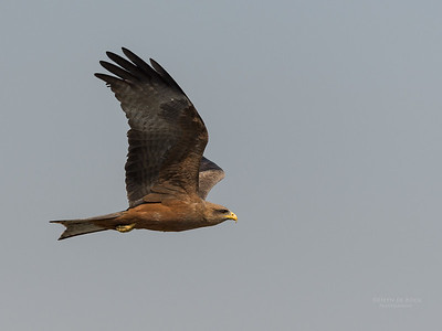 Yellow-billed Kite, Chobe River, NAM, Oct 2016-2