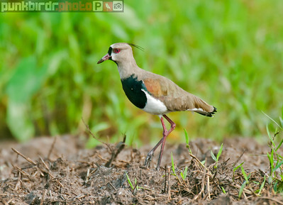 southern lapwing (vanellus chilensis cayennensis)